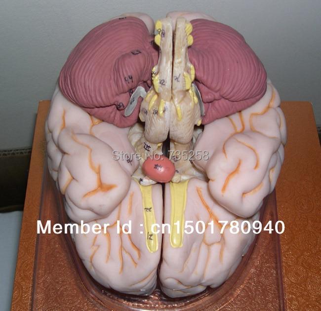 Brain Model Anatomical Human ISO Luxury Teaser
