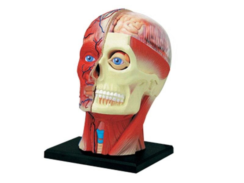 Juguetes de puzle de ensamblar 4D para órganos de nervios de cabeza humana, modelo de enseñanza médica, modelo anatómico de ciencia maniquí