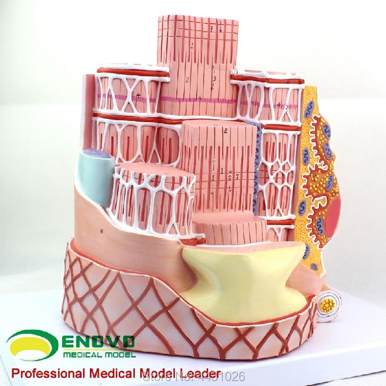 ENOVO Microanatomical model of human skeletal muscle fiber model MICROanatomymodel