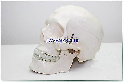 Life Size Human Anatomical Anatomy Head Skeleton Skull Medical Model