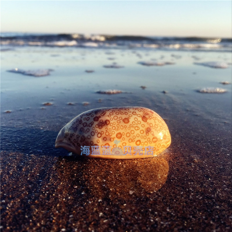 Nueva carcasa de Caracol de mar Natural raro de 6-8CM, Acuario de perlas, colección de decoración para el hogar, regalo DIY, decoración de conchas del Mediterráneo