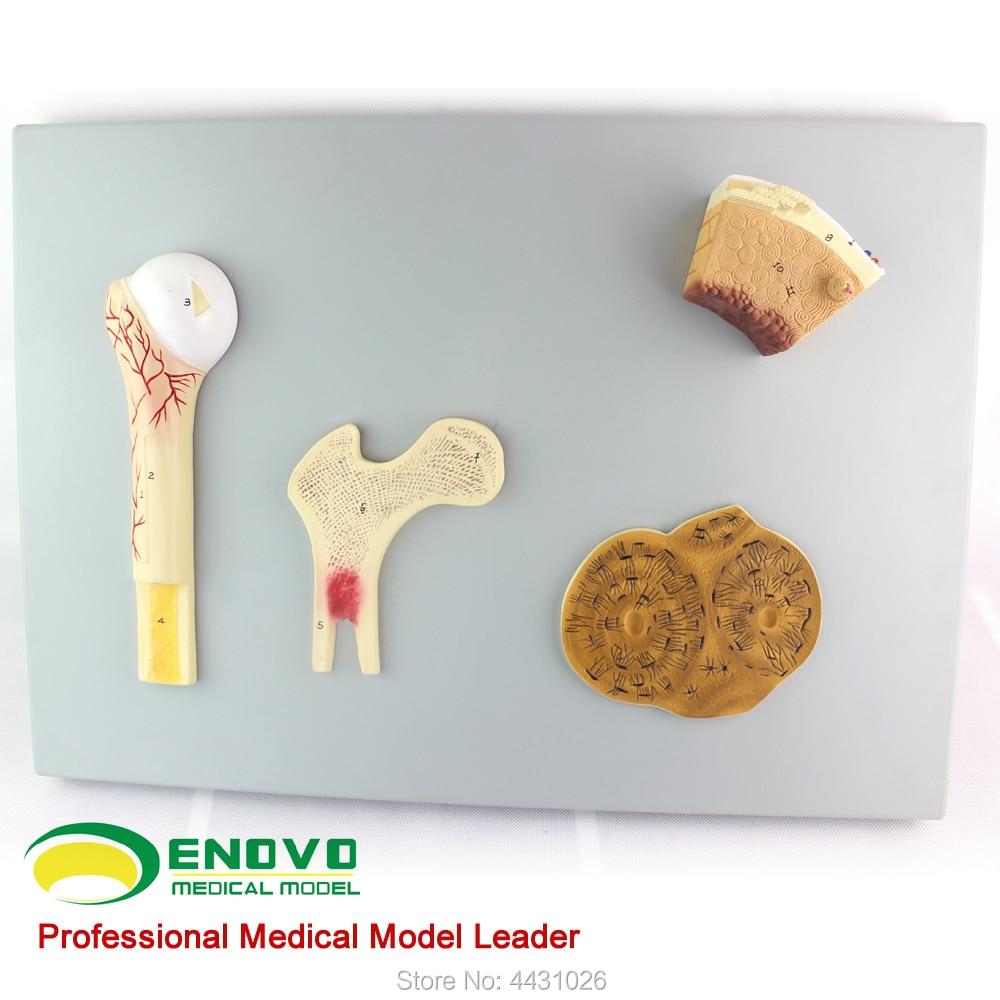 ENOVO Bone structure model vascular cancellous bone and femur haver system human. skeleton