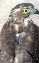Marshall Trackpack Falconet Bord Eurasische Falknerei Glocke Kleine Glocke Tracker Kiefer Mutter Sqarow Hawk Eaglet Kestrel Männlichen Weibliche