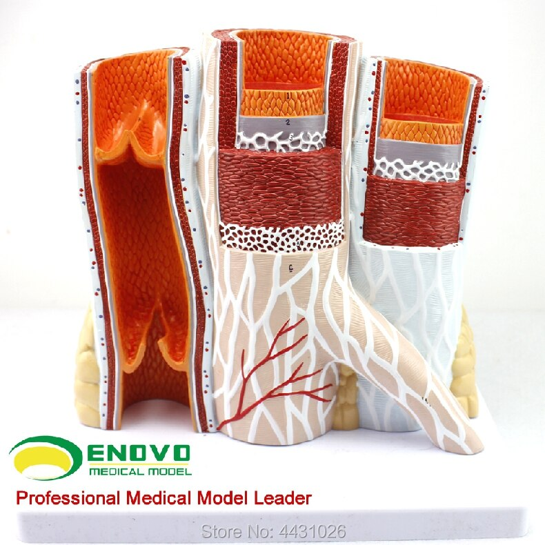 ENOVO The arteriovenous anatomy of the vascular model of the human body