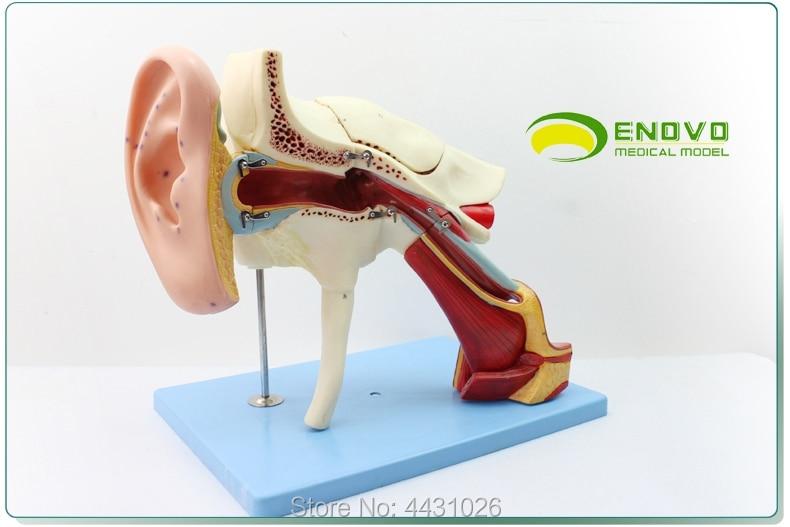 ENOVO Human medical ear anatomic model of the inner ear of the inner ear of the eardrum, the temporal bone ear nose and throat