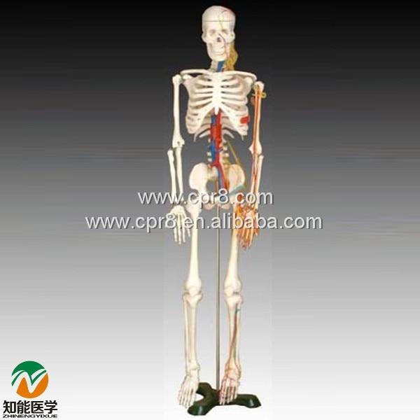 BIX-A1005 85CM Human Skeleton Model With Heart Model And Vessels Model  MQ195