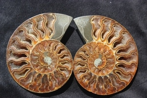 FOSSILIZED SNAIL AMMONITE MINERAL FROM MOROCCO ~ MULTI-COLOR FIRE
