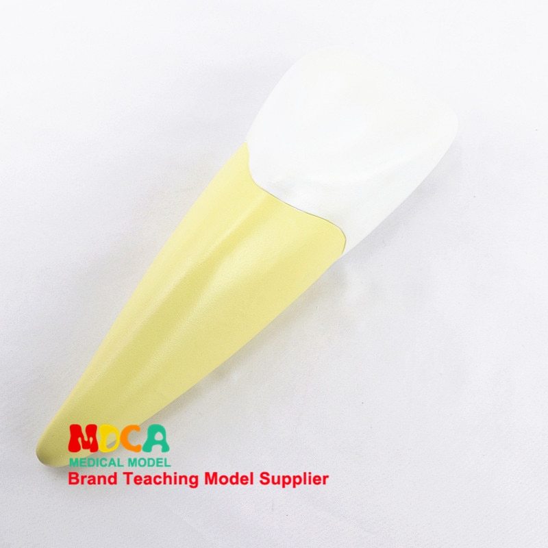 Human incisor model, dental display, dentistry demonstration medicine teaching model MYC006