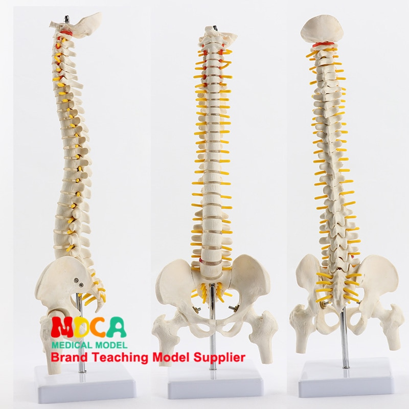 45cm pillar type spinal column belt femur massage beauty body spinal column model medical teaching MJZ102