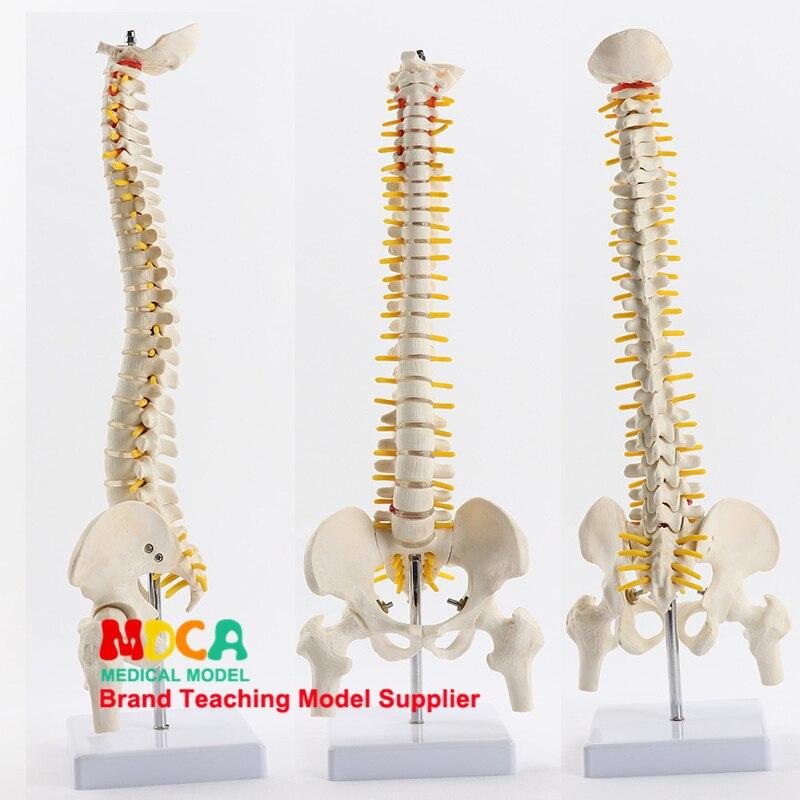 45cm säule typ spinal spalte gürtel femur massage schönheit körper wirbelsäule modell medizinische lehre MJZ102