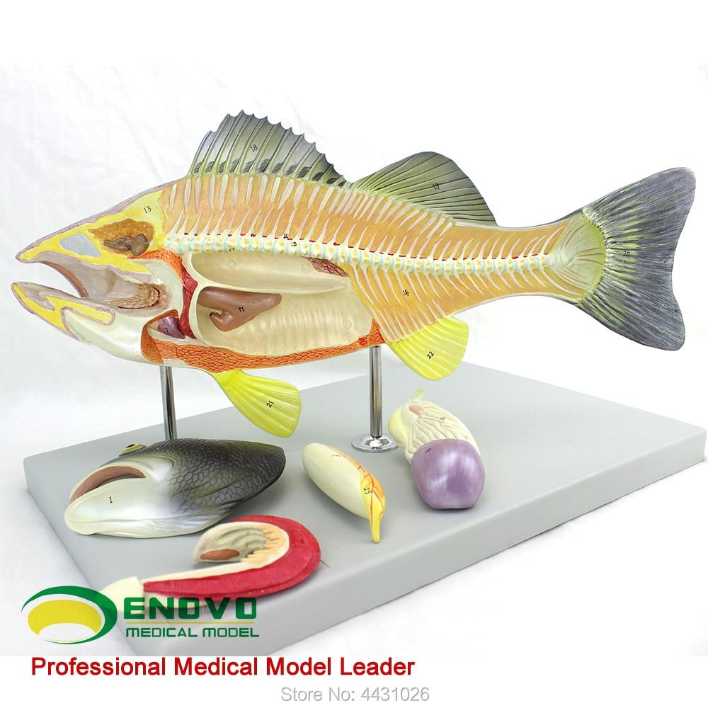 ENOVO Fish anatomy model aquaculture science teaching experimental model biological animal model