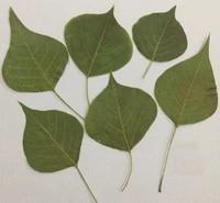 100pcs pressed dried sapium sebiferum l roxb leaf leaves for jewelry postcard phone case craft diy accessories