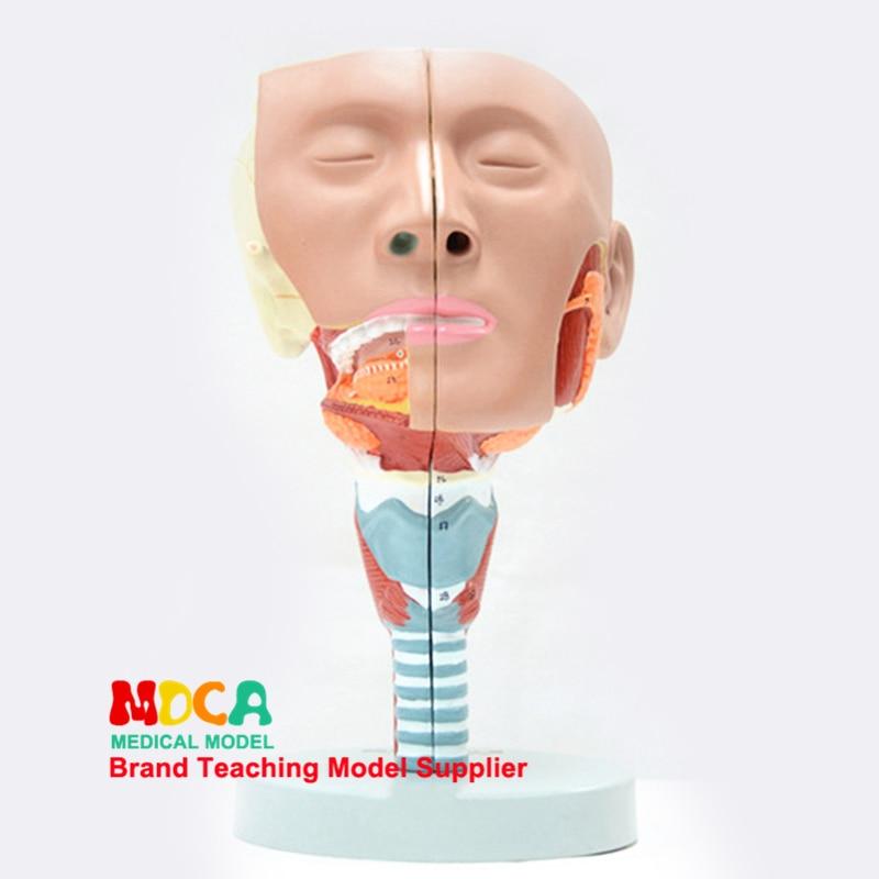 Modelo anatómico faríngeal y laríngea dividido de dos partes, modelo anatómico Oral-modelo nasal, cabezal anatómico lingual muscle, enseñanza médica