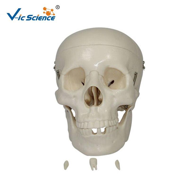 Hot Sale Life Size Skeleton Skull Model