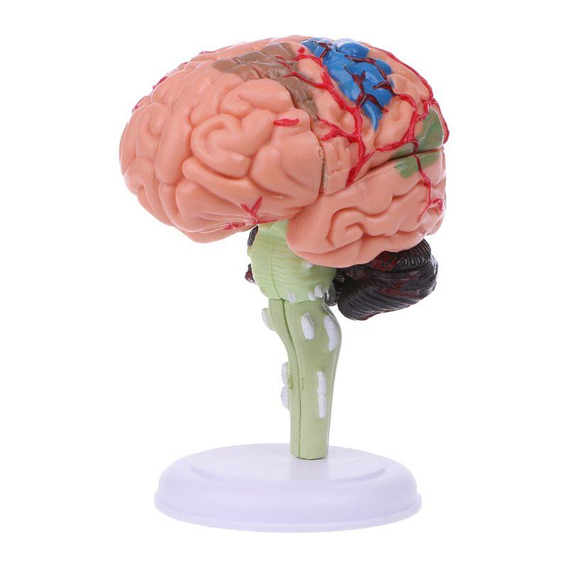 4d desmontado anatômico cérebro modelo anatomia médica ferramenta de ensino estátuas esculturas uso da escola médica