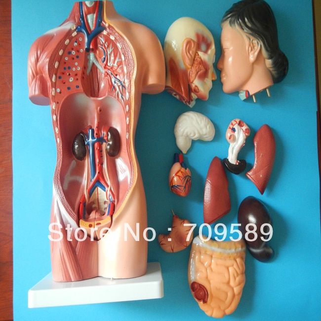 Human body model, anatomy female  torso model 42cm(15parts), female torso