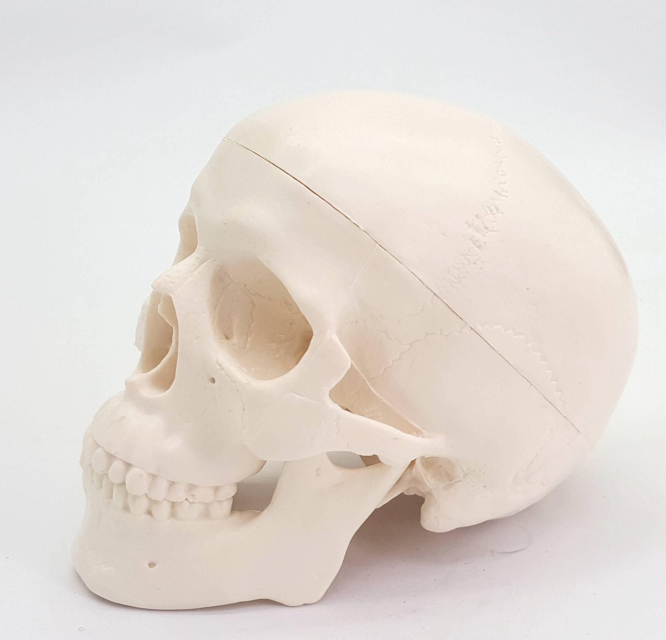anatomico-humano-modelo-medicina-craneo-anatomico-humano-anatomia-cabeza-estudiar-ensenanza-de-la-anatomia-suministros-modelo-de-craneo