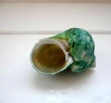 20pcs/lot sea conch  natural shells Green snail green sojourner crab natural conch shell fish tank yangt