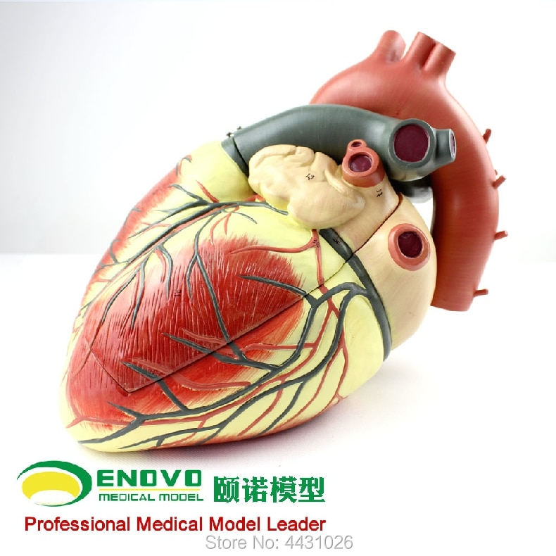 Фото - ENOVO Medical ultrasound human heart model cardiology ultrasound ultrasound model of cardiac cardiovascular anatomy haim azhari basics of biomedical ultrasound for engineers