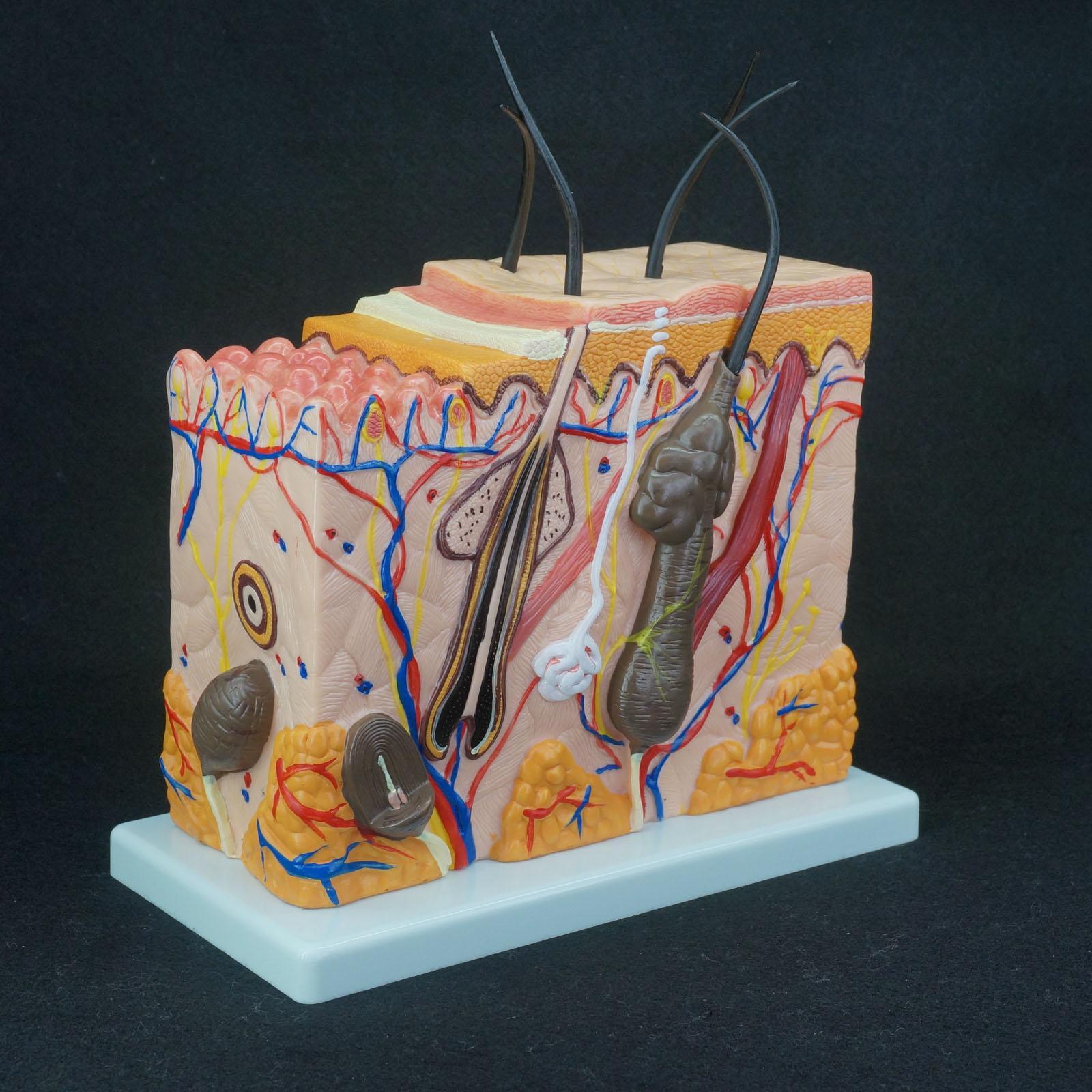 70X tamaño real anatómico piel humana bloque Modelo dermatología médica anatomía