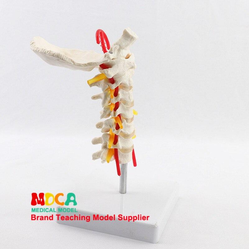Модель ортопедического отдела позвоночника Occipital MGJ006, модель позвоночника человека, медицинское обучение