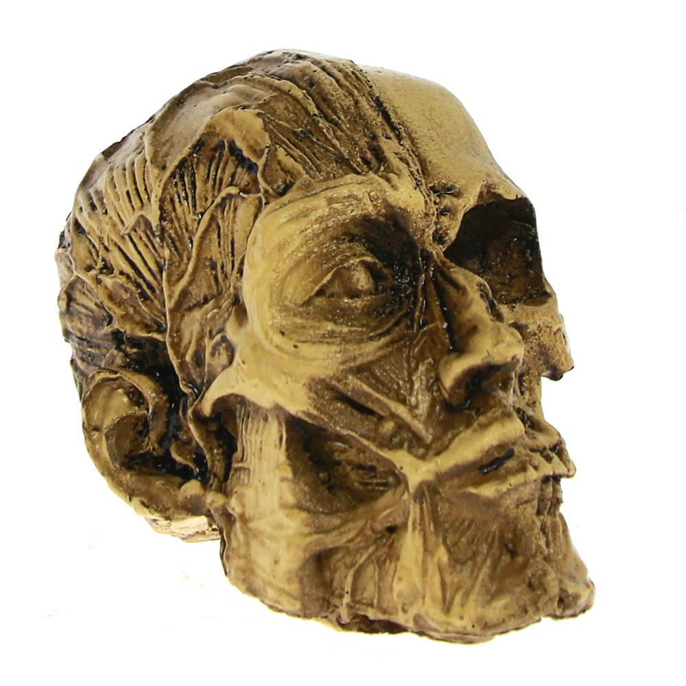 1 pieza de hueso del músculo modelo médico masculino cráneo Anatomía Humana cabeza anatómica médica enseñanza esqueleto estatua decorativa