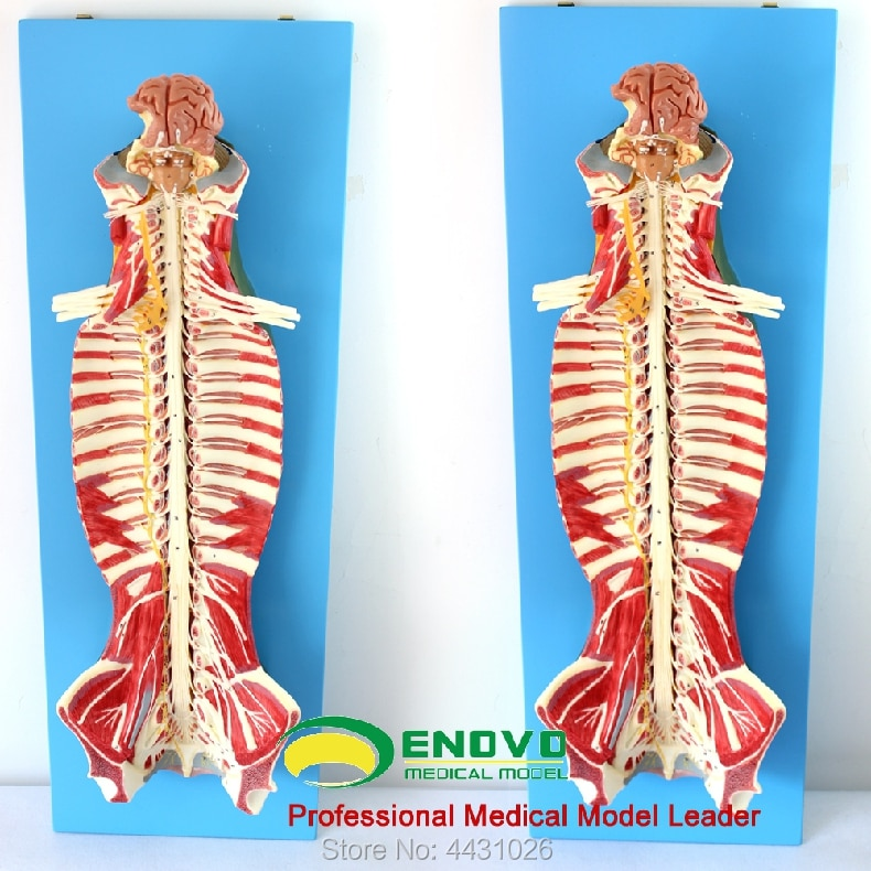 ENOVO Anatomy of spinal cord spinal nerve