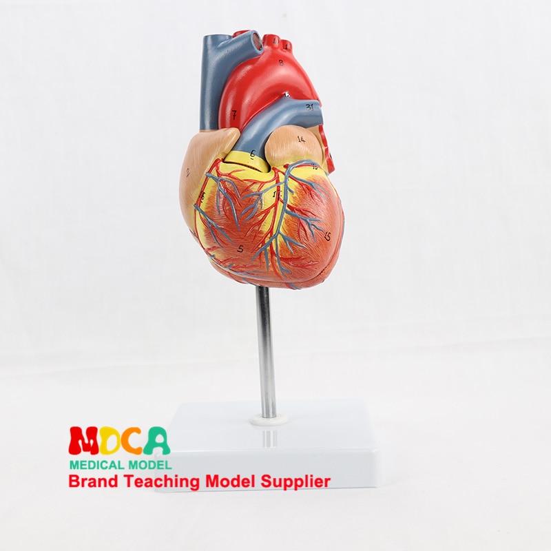 Человеческое 1:1 натуральное большое сердце, человеческие органы, B-режим ультразвука, модель анатомии сердца, медицинское обучение MXZ001
