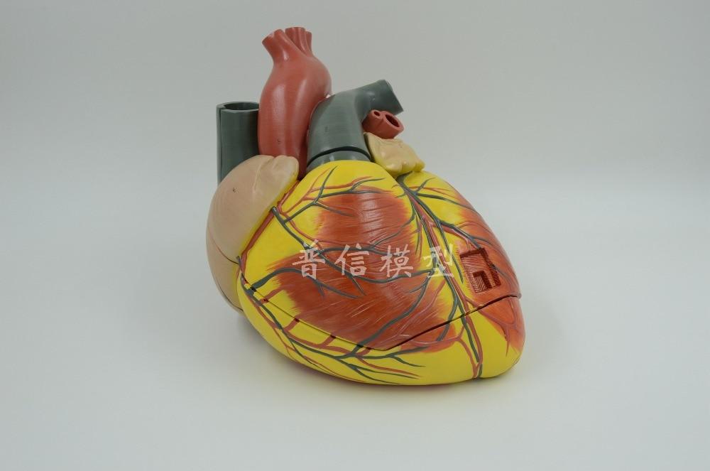Modelo de Anatomía del corazón humano para hospital, Pintura Artística, Doppler de...