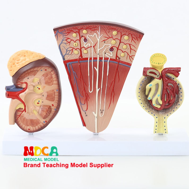 anatomical specimens of the human medical urological system model of the urinary system Medical teaching of urinary system MSZ007 for human glomerular enlargement model of nephron