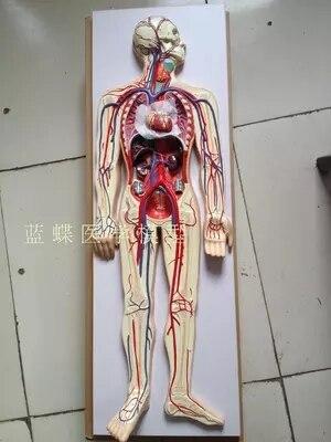 Modelo de circulación sanguínea modelo cerebrovascular cardíaco venoso arterial humano