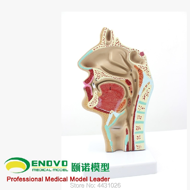 Анатомическая модель носовой полости и горла ENOVO