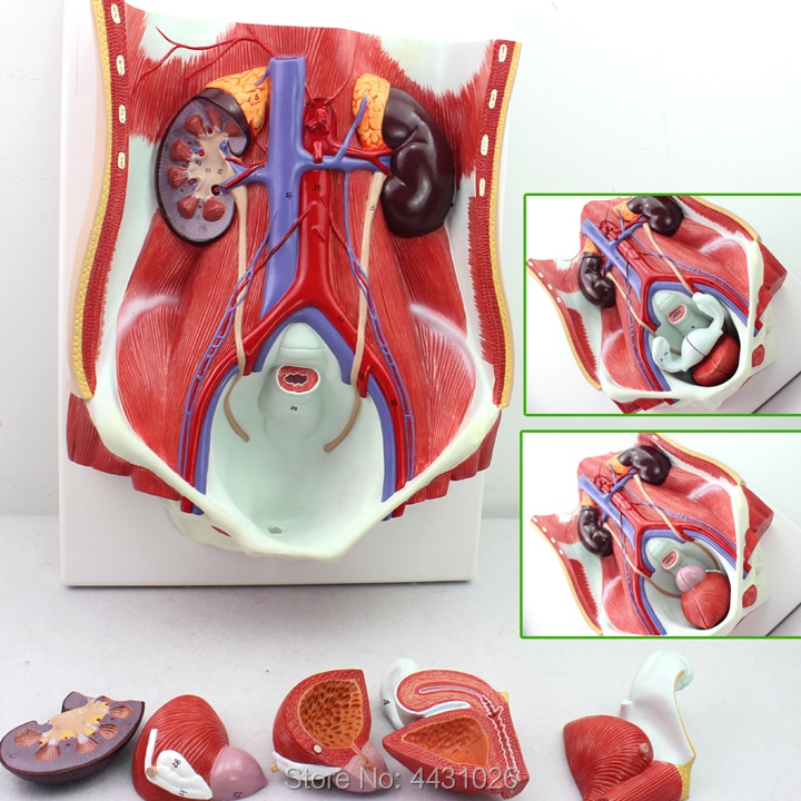 anatomical specimens of the human medical urological system model of the urinary system ENOVO The anatomy model of the abdominal wall in the urological model of the urinary system