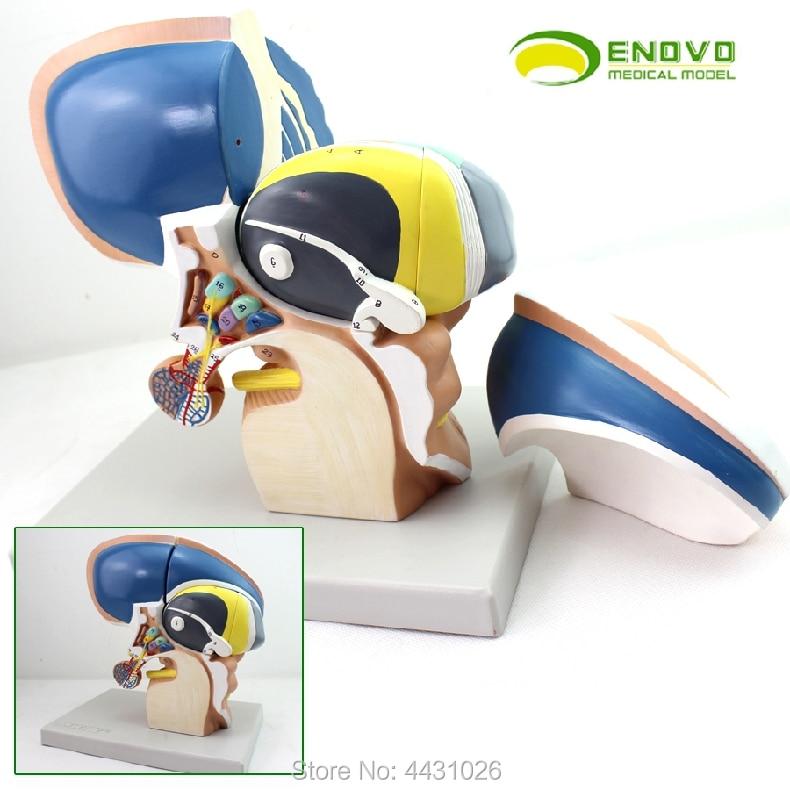 ENOVO Brain model