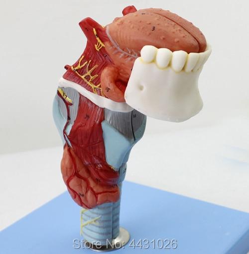 ENOVO Human laryngeal cavity and laryngeal cavity model of the laryngeal anatomical head model thyroid medical organ ear nose an