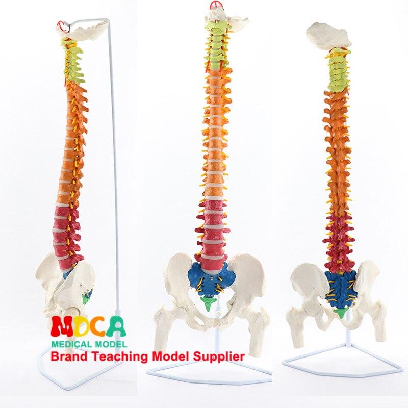85CM hanging color spine belt massage for femur human model medical teaching MJZ201