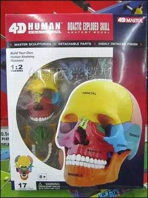 4D Цвет головы скелет собранный скелет модель бесплатная доставка