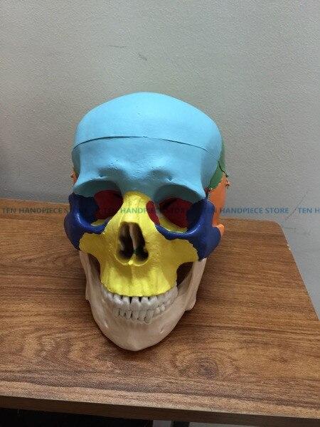 2018 gute qualität Menschlichen körper farbe oral schädel modell Schädel division 1 zu 1 schädel trennung lehre modell