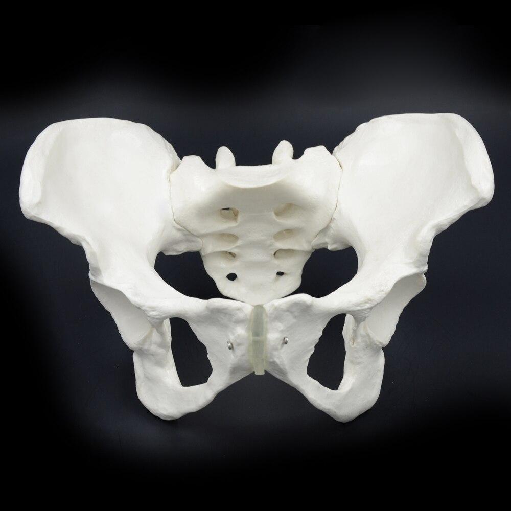11 modelo de Pelvis femenina, el Ilium, Ischium, modelo del pubis Pelvis, modelo esquelético médico escuela enseñanza médica