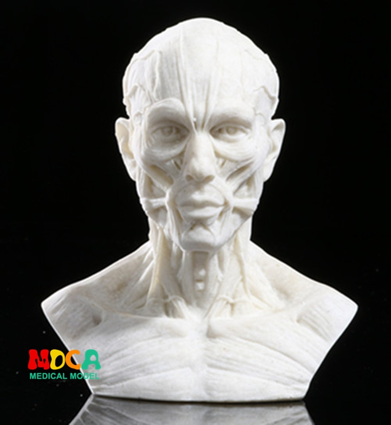 Рисование жизни в художественной студии, имитация мужской скелета, голова, мышцы, натюрморт, эскиз, обучающая модель RTSM205