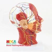 skull and skull medical teaching mtg018 for superficial vascular nerve model of human head sagittal section