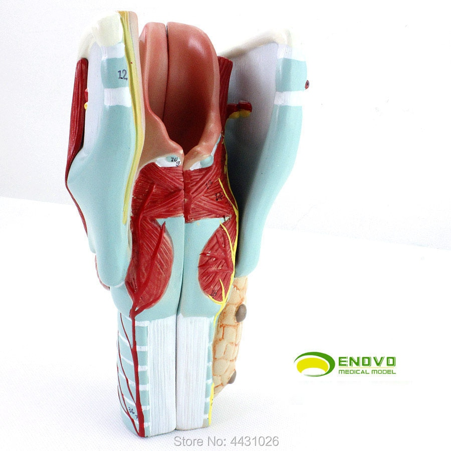 ENOVO Medical model of laryngeal and cavity cavity.