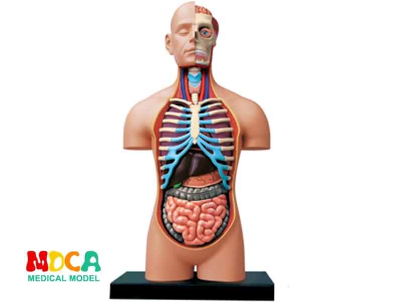 1:2.5 Half open human body 4d master puzzle Assembling toy human body organ anatomical model medical teaching model