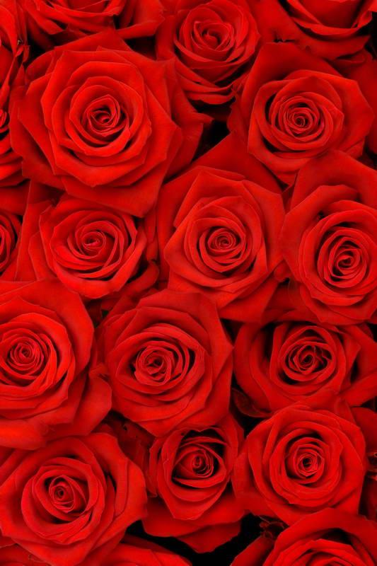 Red Rose Flowers Portrait Photo Backgrounds 200x300cm Wedding Backdrops Photographic Vinyl Cloth Photo Studios