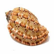 Artisanat naturel conpe harpe indigène 6-8cm   Ornements daquarium, coquille de Carambola, coquillage, cadeau, décoration de maison, mascotte