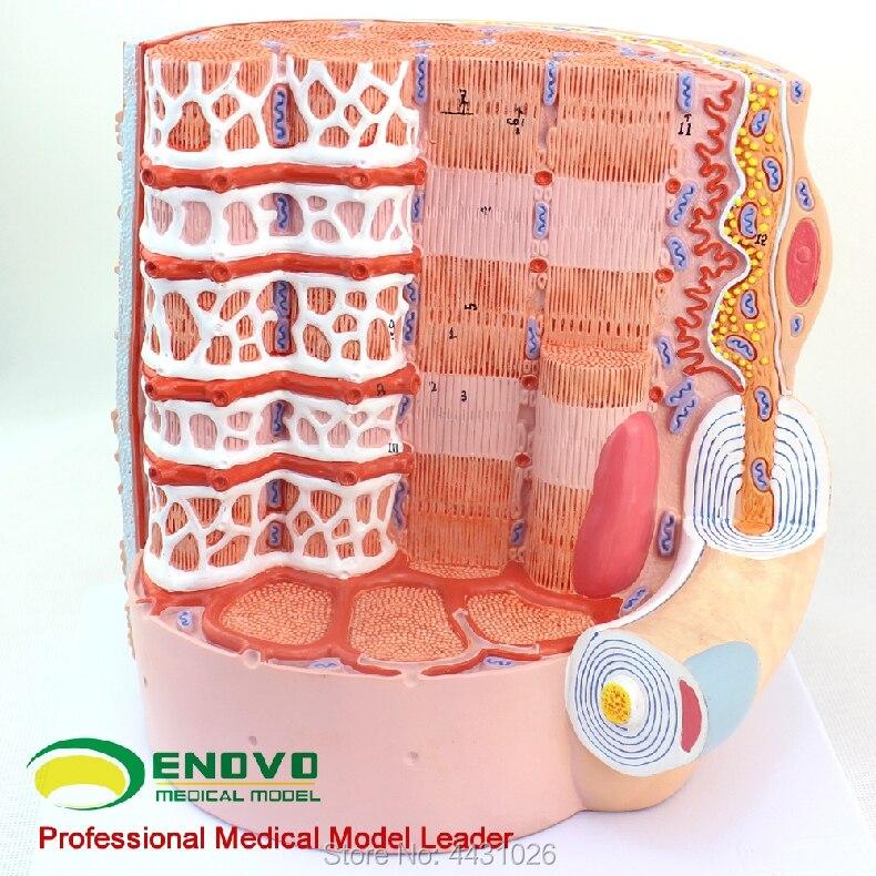 ENOVO Human muscle fiber amplification model microanatomy model medical teaching human anatomy