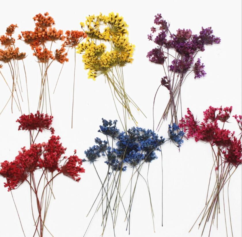 250 Uds prensado y secado Orlaya grandiflora flores de encaje plantas herbario para la fabricación de joyas marco para postales teléfono estuche artesanía DIY