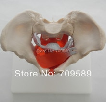 Modèle de bassin danatomie avec muscles et organes pelviens, bassin féminin