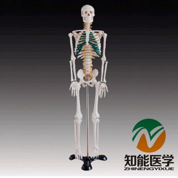 BIX-A1004 85cm Human Spinal Nerves Skeleton Model G119