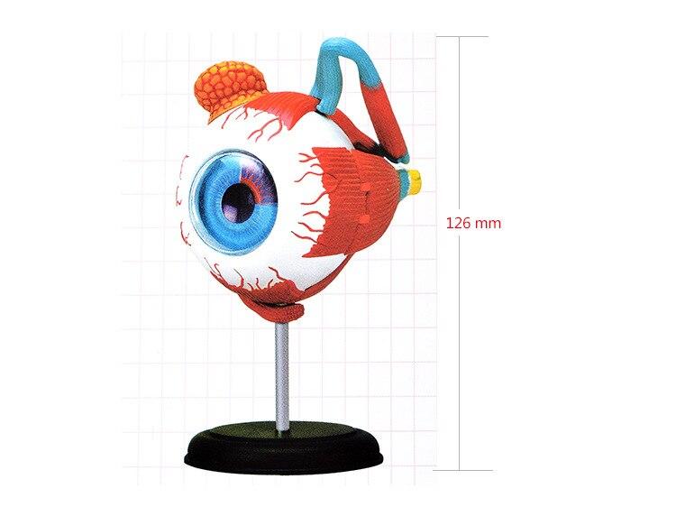 human eye anatomical model assembled human anatomy model eye puzzles structure human skeleton anatomical model